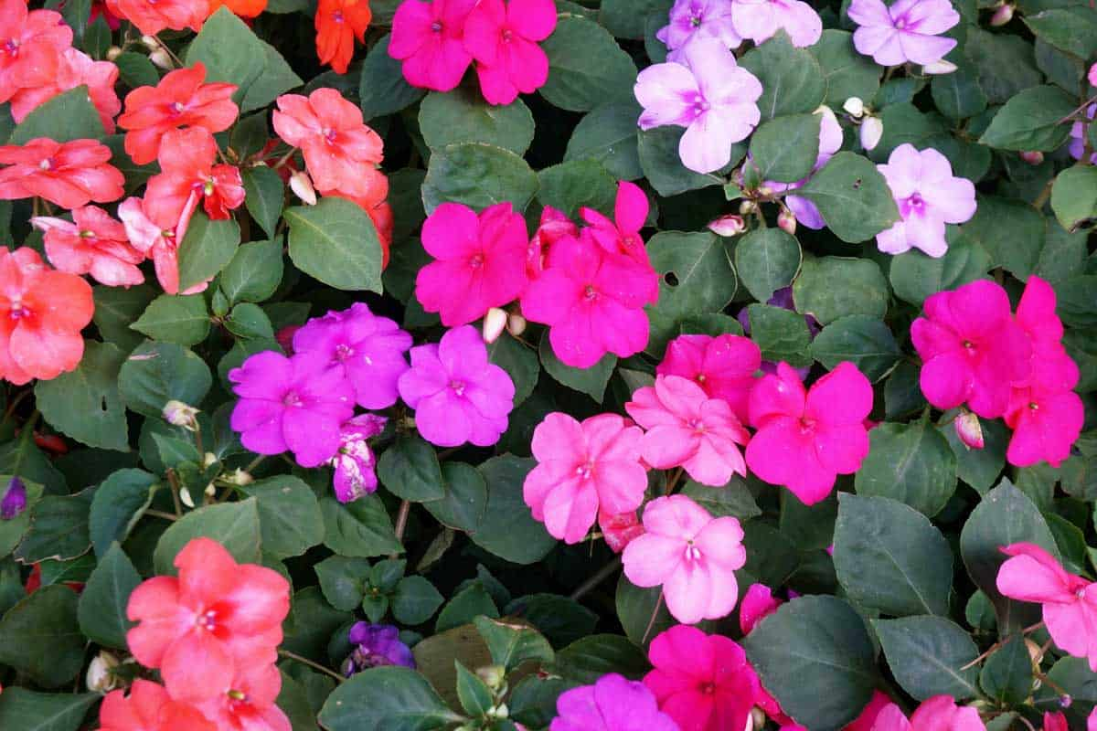 Background of New Guinea Impatiens flowers ( Impatiens hawkeri w.bull., New Guinea Hybrids ) and their leaves