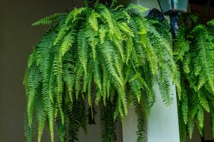 Closeup of a large fern hanging on in a garden, Do Ferns Need Drainage? [And how much should you water them]