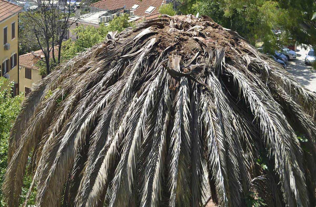 Dead palm on a hill above the marina