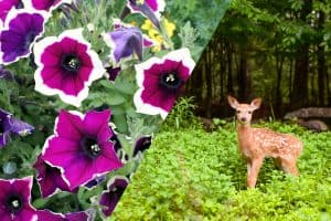Deer looking at a petunia flower, Do Deer Eat Petunias? [And how to STOP them from doing that]