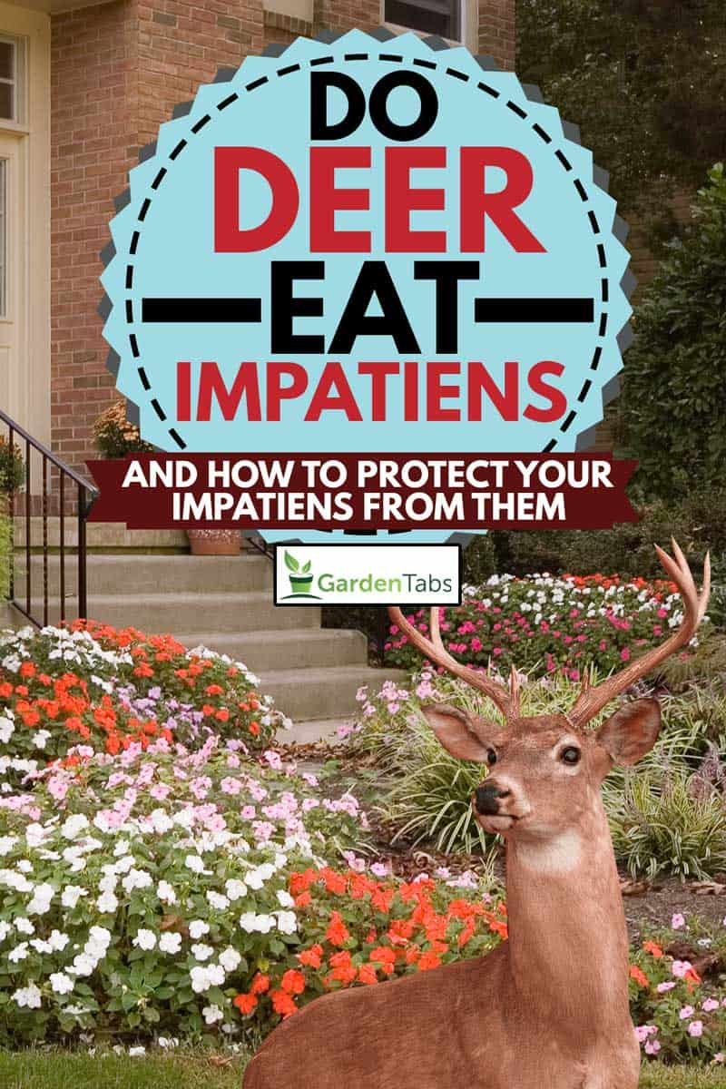 A collage of Lush flower beds with impatiens line a walkway to a front door of a residence and a deer, Do Deer Eat Impatiens? [And How To Protect Your Impatiens From Them]