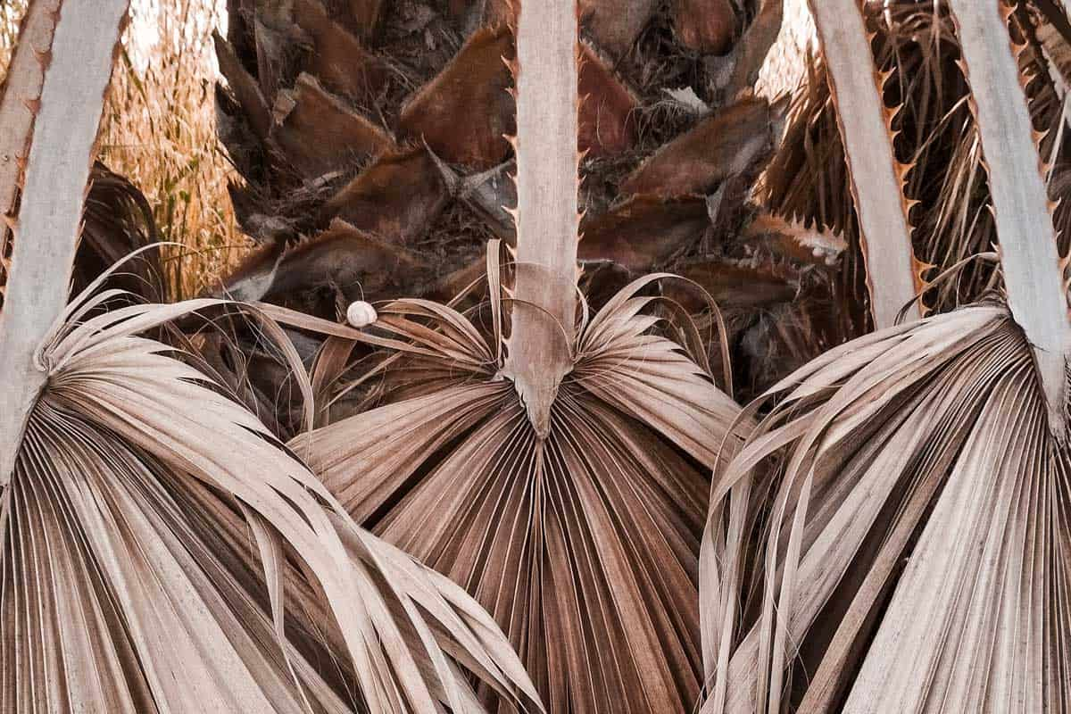 Dry tropical palm leaves on a dead palm tree, How To Tell If a Palm Tree is Dead? [And How To Revive It]