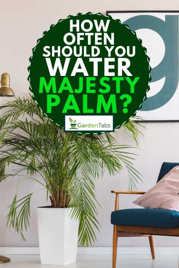 Palm plant in white pot in living room interior, How Often Should You Water Majesty Palm?
