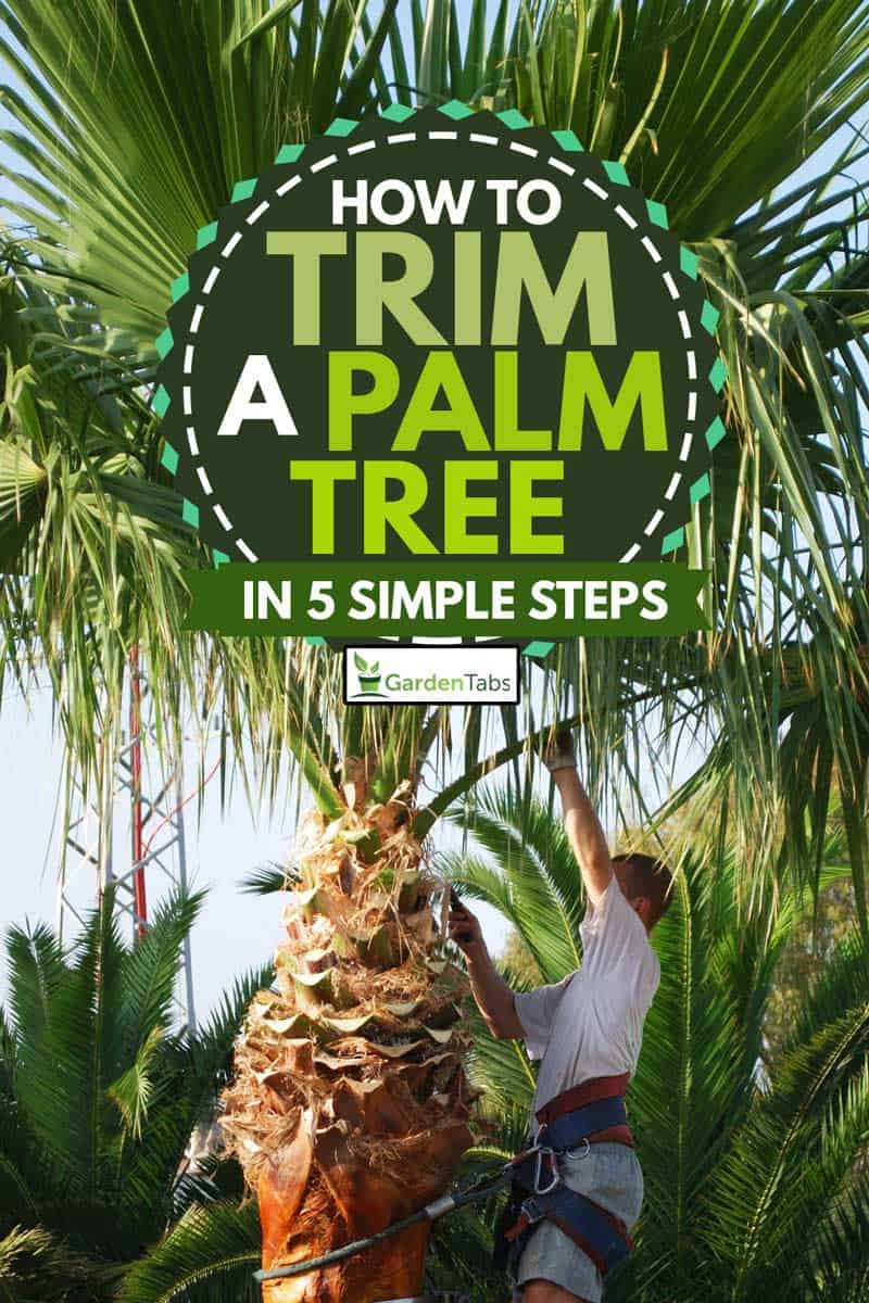 Tree surgeon trimming a palm tree wearing tree climbing equipment, How To Trim A Palm Tree in 5 Simple Steps