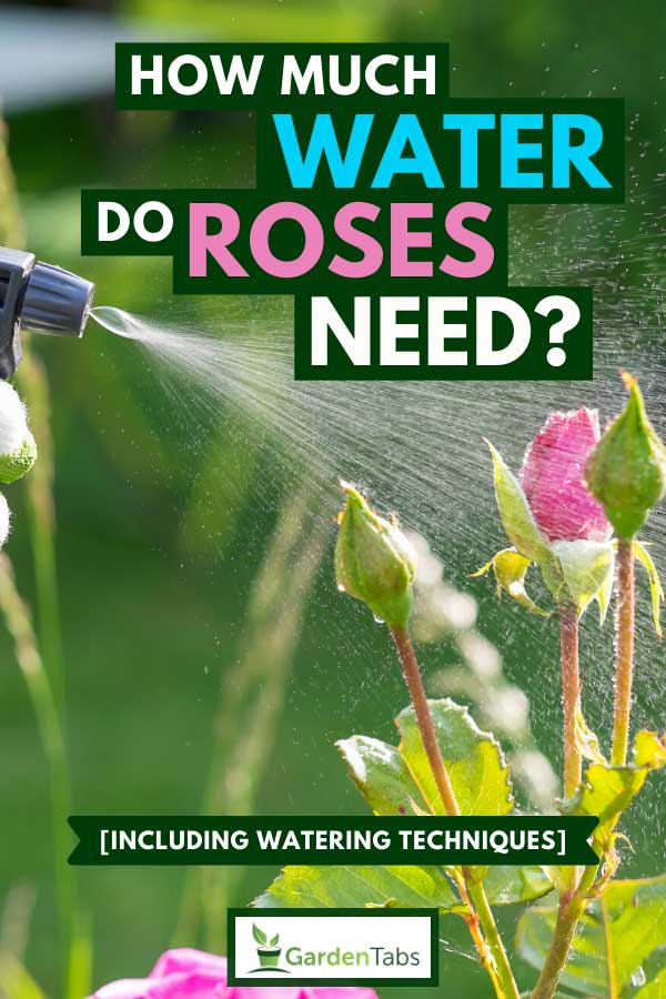 Close-up of a female hand spraying plant roses, How much water do roses need? [Inc. watering techniques]