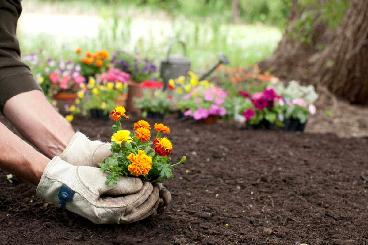 Man gardening holding Marigold flowers in his hands with copy space