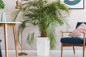 How Often Should You Water Majesty Palm?