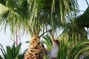 How To Trim A Palm Tree in 5 Simple Steps