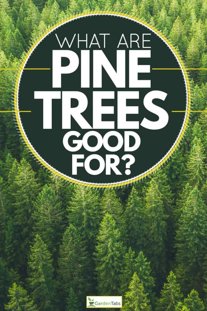 A forest filled with pine trees, What Are Pine Trees Good For?