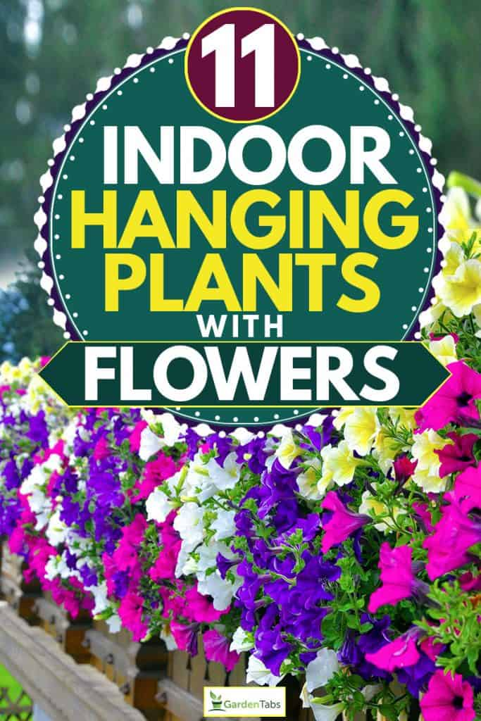 A wall with gorgeous hanging petunias flowers, 11 Indoor Hanging Plants with Flowers