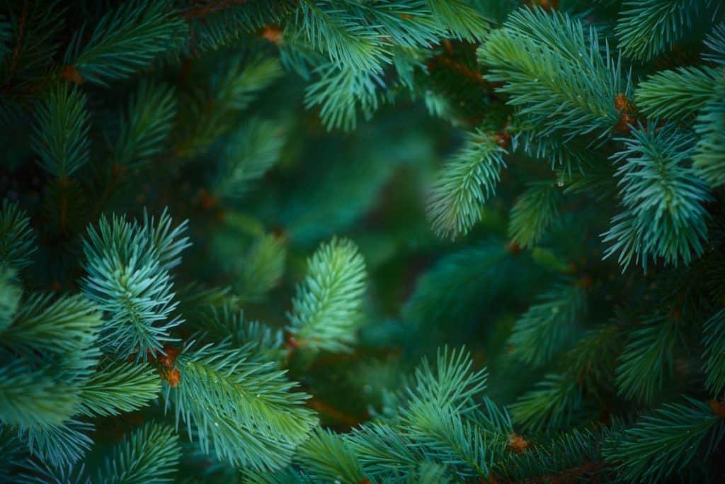 A close up shot of a pine needle