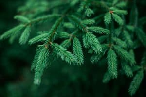 A close up shot of a small pine needle, Are Pine Needles Acidic? [And how that affects your garden]