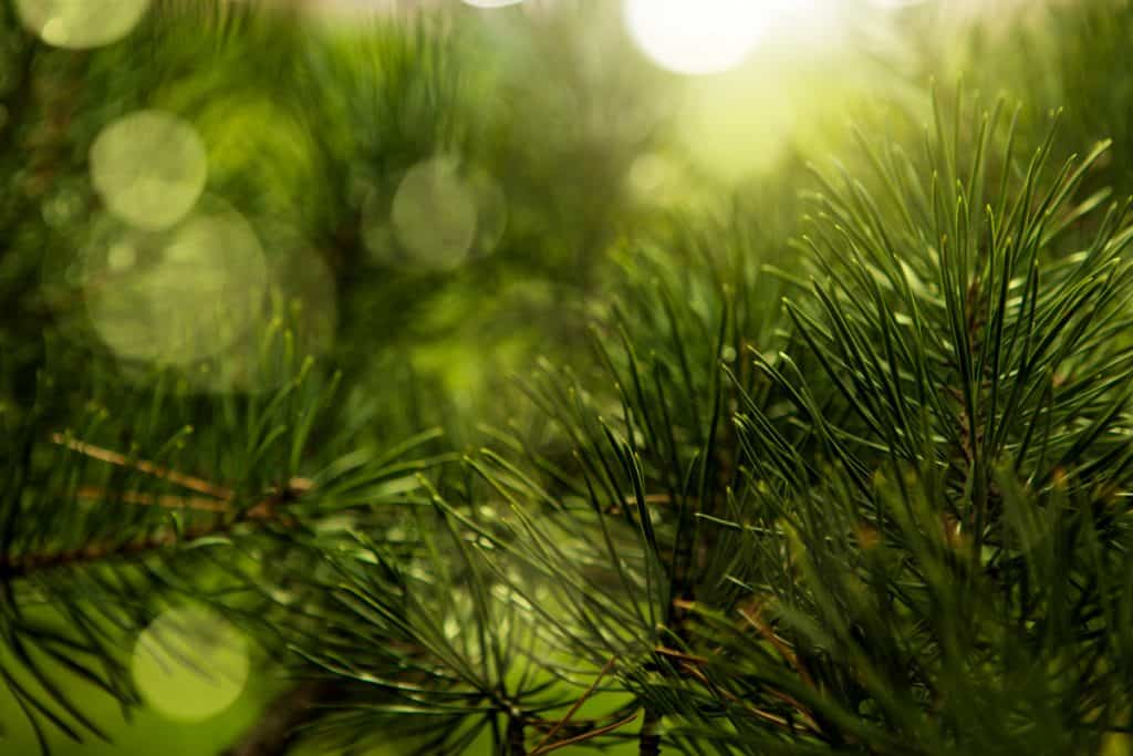 A focused shot of a pine needle