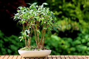 A small bonsai tree group of miniature weeping figs growing in a white glazed oval pot, 7 Indoor Trees With Small Leaves That You Can Grow