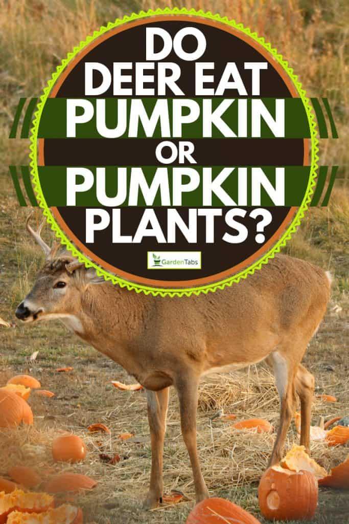A deer eating pumpkins, Do Deer Eat Pumpkins or Pumpkin Plants?