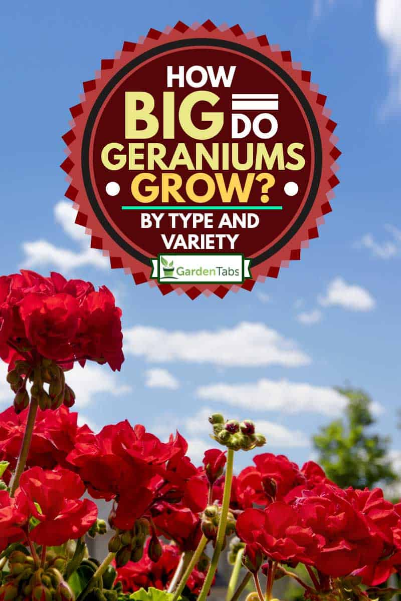 Stunning red geraniums against the blue sky, How Big Do Geraniums Grow? [by Type and Variety]