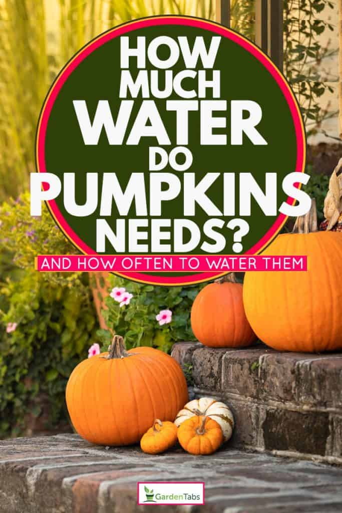 Three huge pumpkins on a staircase, How Much Water Do Pumpkins Need? [And how often to water them]
