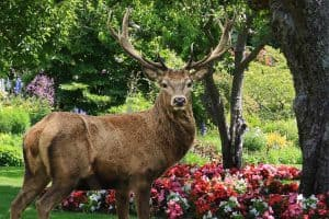 Do Deer Eat Begonias? [Inc. 4 Ways to Protect Your Flowers]