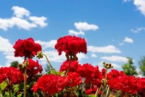 How Big Do Geraniums Grow? [By Type And Variety]