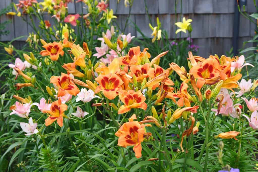 A garden filled with different kinds of daylilies on a garden