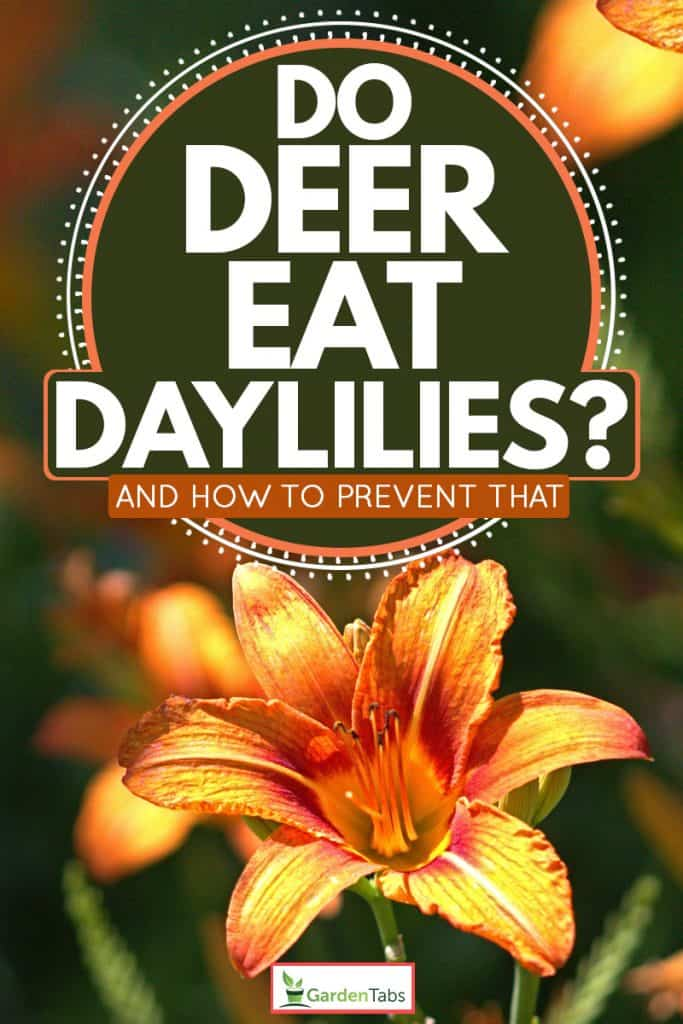A close up photo of daylily on a sunny day, Do Deer Eat Daylilies? [And How To Prevent That]