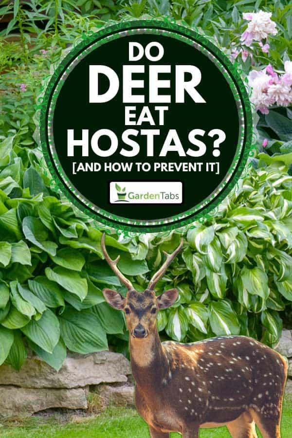 Deer standing with beautiful garden of hostas on the background, Do Deer Eat Hostas? [And How To Prevent It]