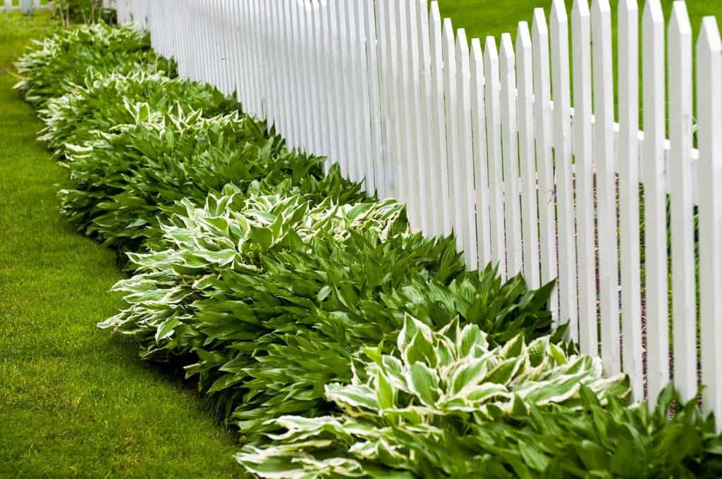 Hostas and picket fence