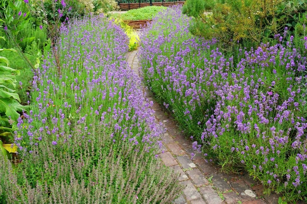 Small brick garden path lined by flowering lavender in an English country garden
