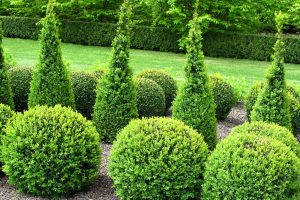 Beautiful garden with buxus balls and hedges, 17 Best privacy bushes and shrubs