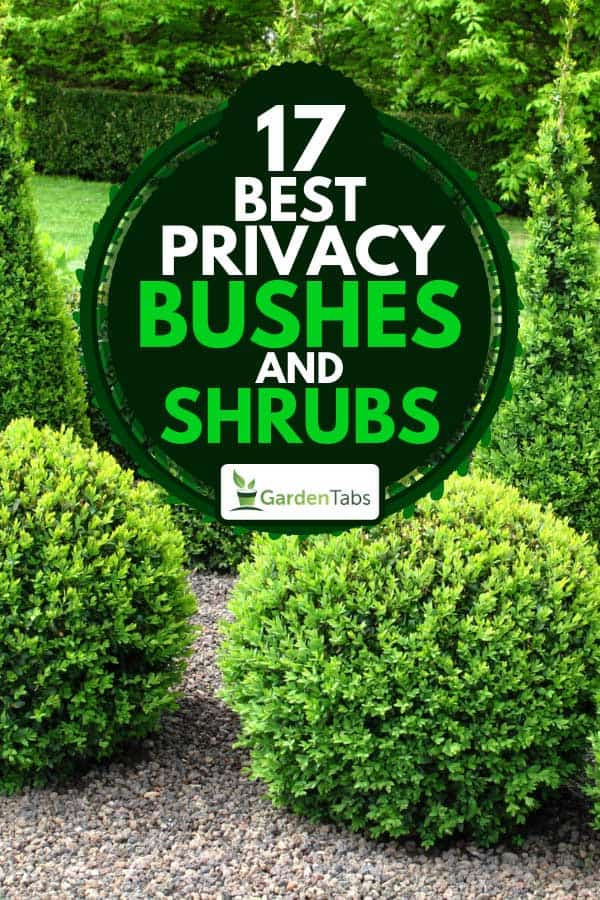 Garden with buxus balls and hedges, 17 Best privacy bushes and shrubs