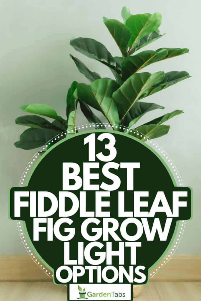 A fiddle leaf fig tree planted on a small paper bag, 13 Best Fiddle Leaf Fig Grow Light Options