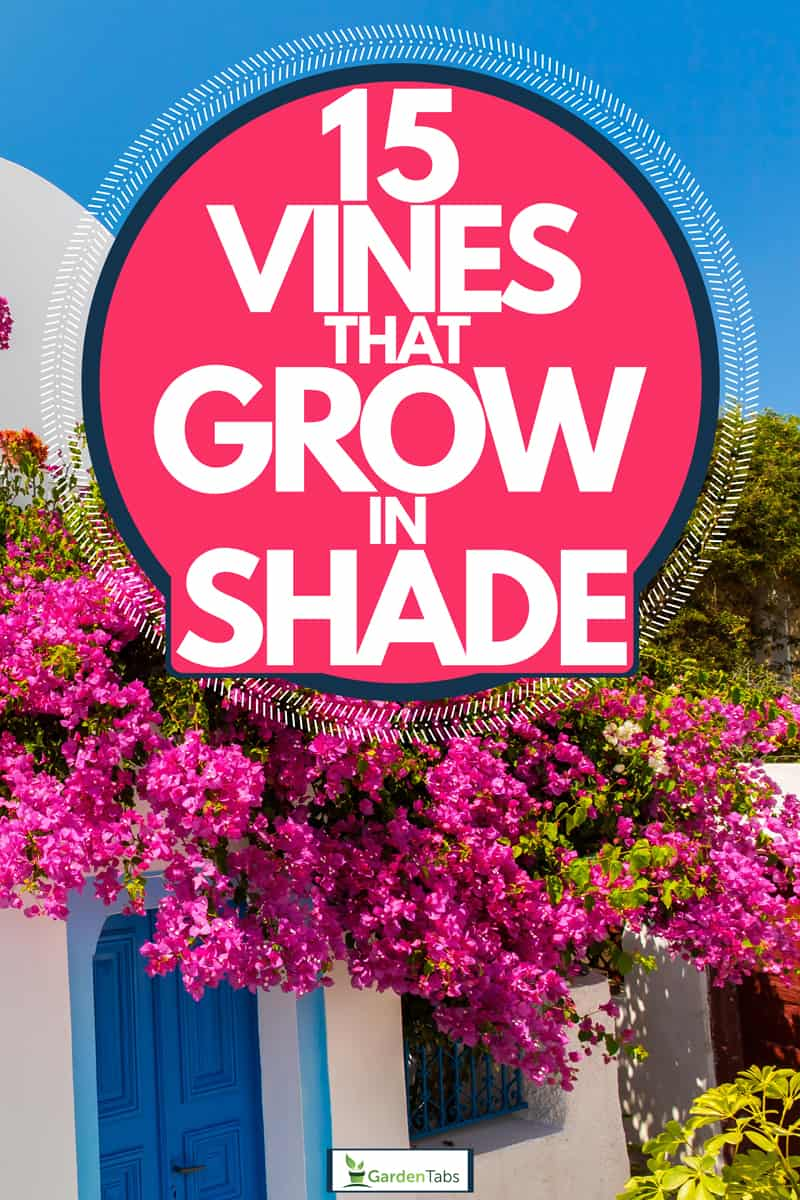 A beautiful house with Bougainvillea flowers growing on its porch, 15 Vines That Grow in Shade
