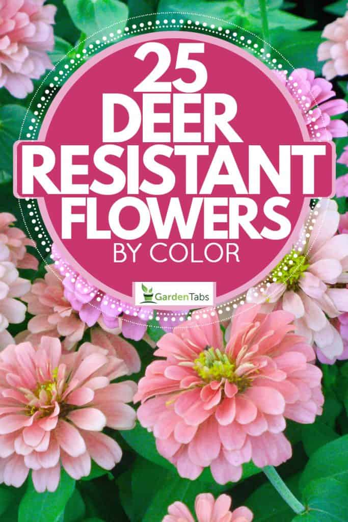 A patch of Zinnia flowers photographed on a garden, 25 Deer Resistant Flowers (By Color)