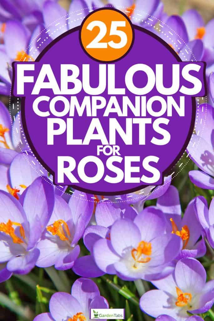 A patch of crocus flowers on a garden, 25 Fabulous Companion Plants for Roses