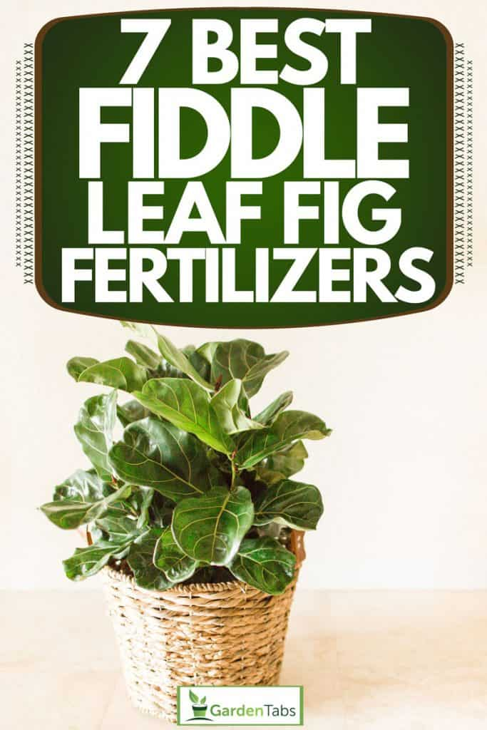 A young fiddle leaf fig tree on a small wooden basket placed inside a room, 7 Best Fiddle Leaf Fig Fertilizers