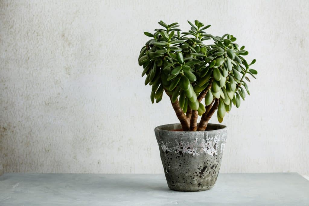 A Crassula Ovata jade or jade plant placed on an old concrete pot