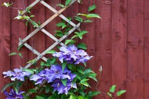 A beautiful clemantis creeping flower slowly going up to the wall, 22 Fast-Growing Plants for Your Garden