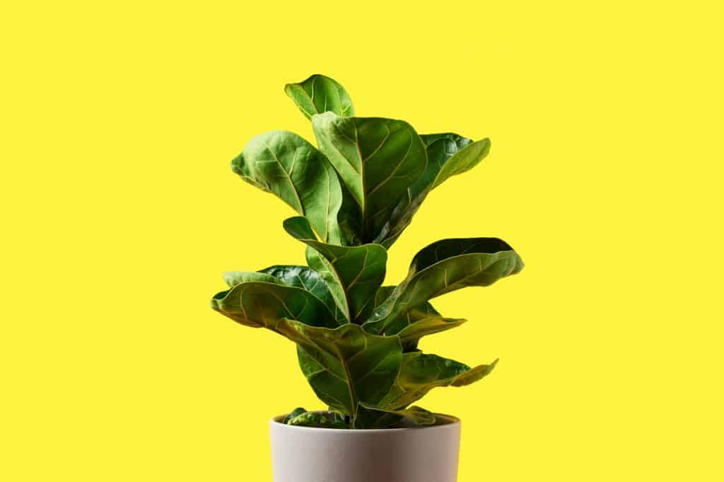 A big fiddle leaf tree on a gray ceramic pot with a yellow background