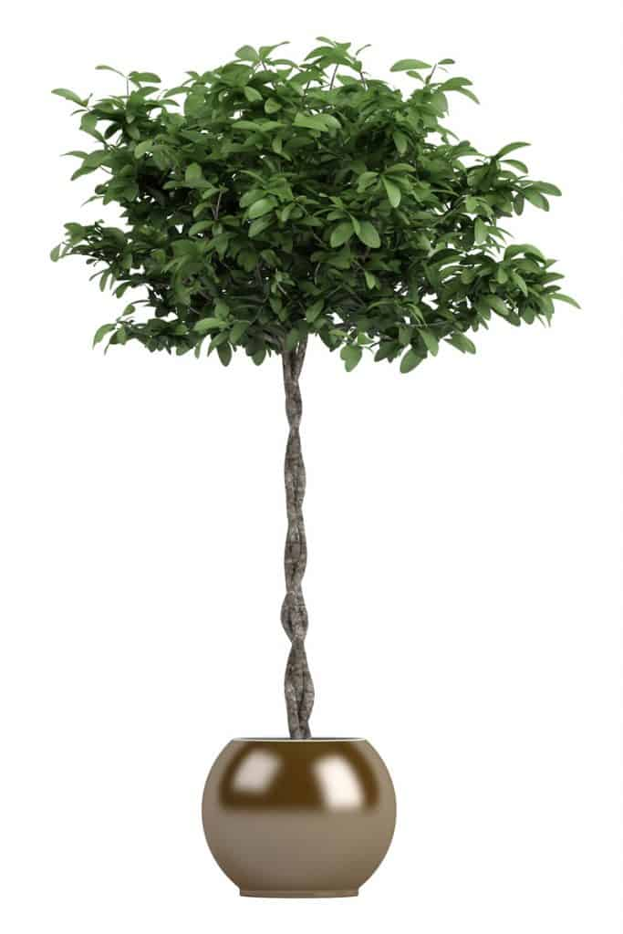 A braided money tree on a bronze ceramic pot on a white background