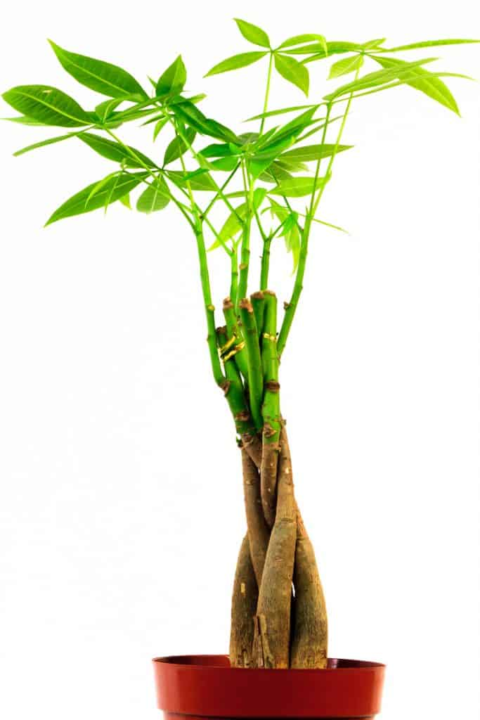 A braided money tree on a brown plastic pot placed on a white background