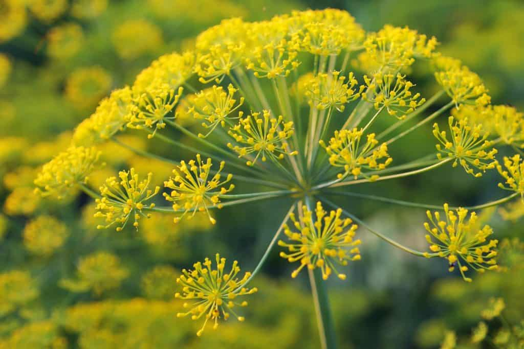 A detailed photo of a yellow dill flower blooming on a garden