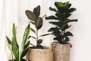 A fiddle leaf fig tree in a white curtain placed inside planter baskets, How To Prune A Fiddle Leaf Fig Tree [6 Steps]