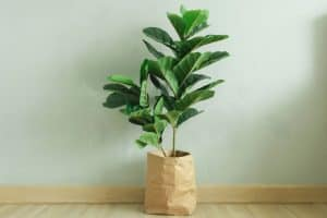 13 Best Fiddle Leaf Fig Grow Light Options