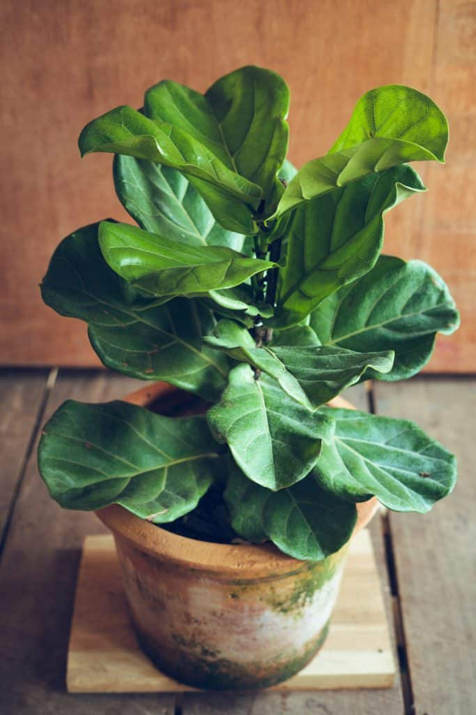 A fiddle leaf tree planted on a brown clay pot