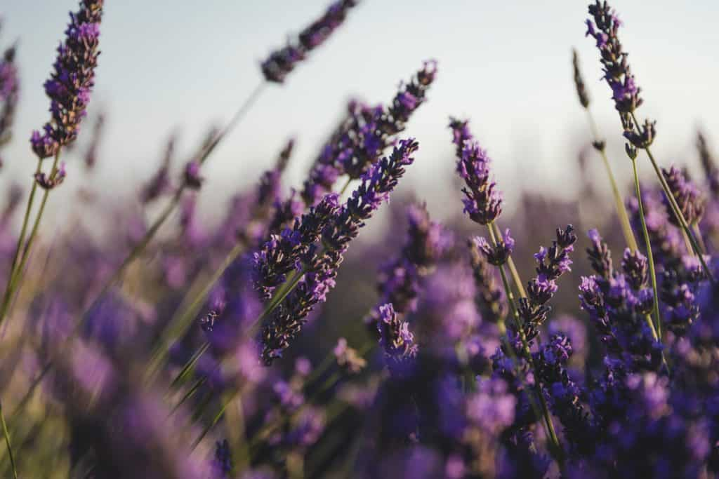 A field with lavender flowers blooming freely