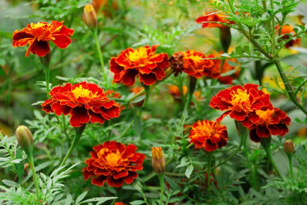 A garden filled with blooming red marigolds