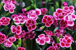 A garden filled with Dianthus flowers photographed on a sunny day, 15 Red Perennials That Bloom All Summer