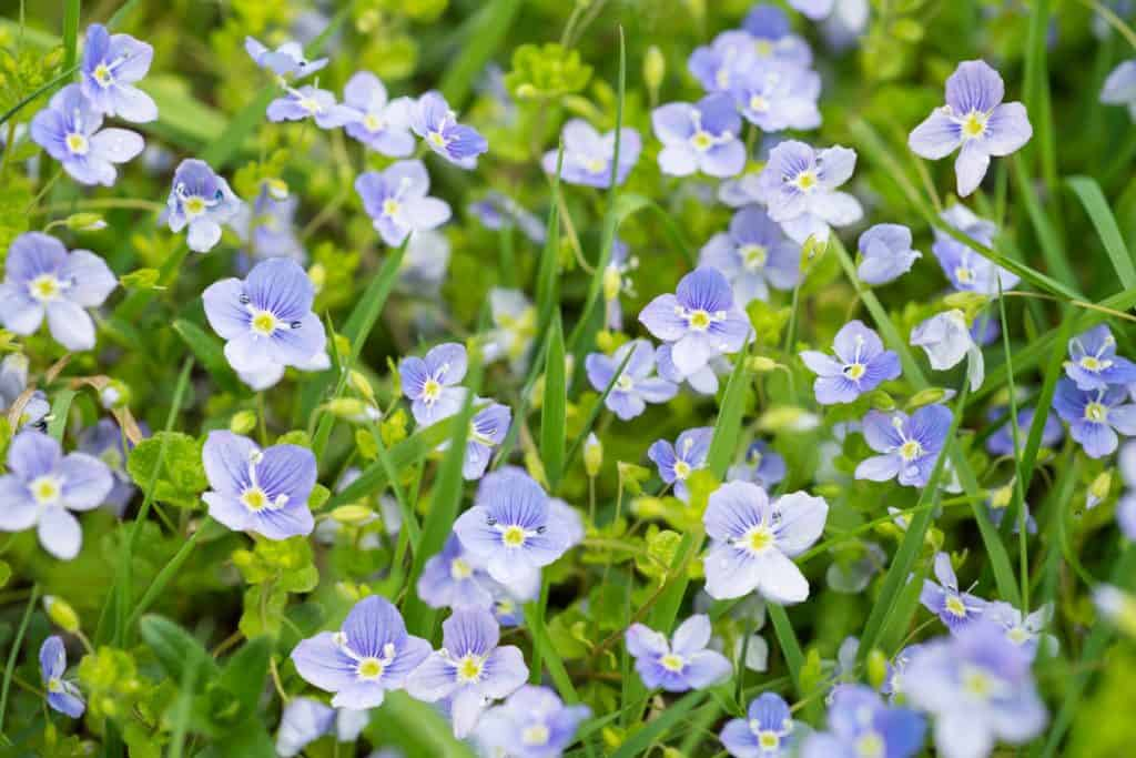 A garden filled with speedwell flowers blooming gorgeously on a sunny day