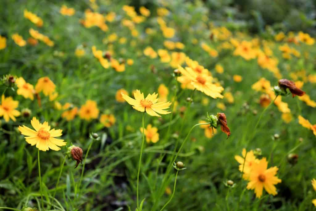 A meadow of coreopsis flowers blooming gorgeously on a hot sunny day