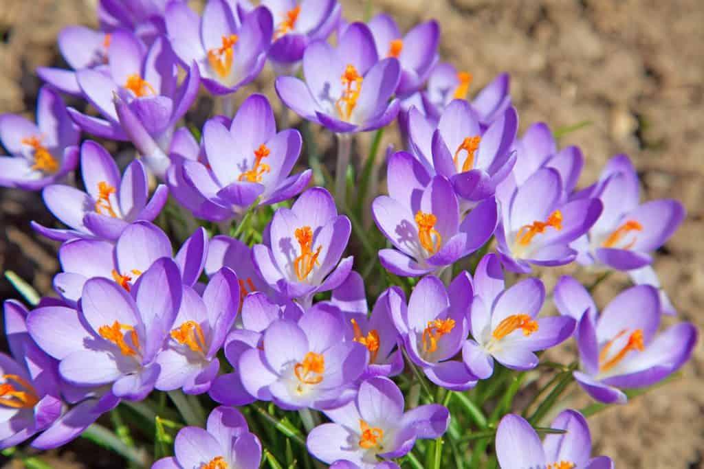 A patch of crocus flowers on a garden